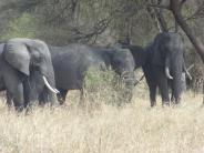 Plusieurs groupes d'éléphants rencontrés dans le parc de Tarangiré