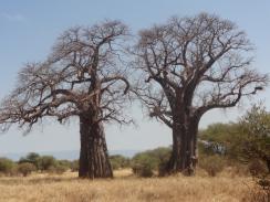 Arbres imposants, les baobabs trônent dans le parc de Tarangiré
