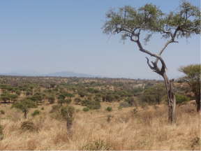 Paysage de savane dans le parc du Tarangiré